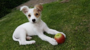 ava_jack_russel_mix_m7